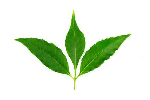 saç derisi kabukları için neem yaprağı kullanımı