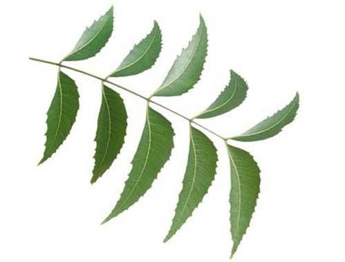 saç köklerindeki ağrı için neem ağacı yaprakları işe yarar mı